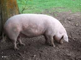 Imagem da notícia: Clonagem de embriões de porcos pode ser solução para transplantes humanos