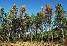 Imagem da notícia: Novo equipamento português previne doença do pinheiro